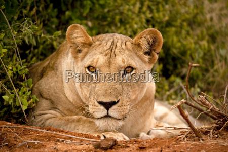 animale africa kenia leone gatto natura