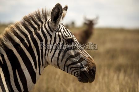 animale africa kenia zebra safari
