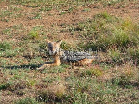 selvaggio africa sudafrica facilitare agio riposo