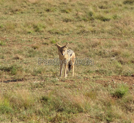 animale selvaggio africa sudafrica sciacallo terreno