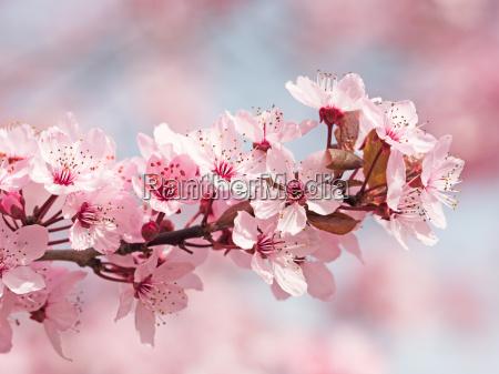 blu albero fioritura fiorire ciliegia stagione