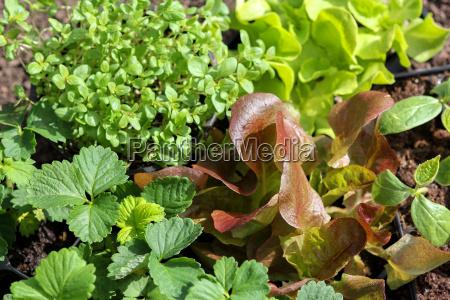 cetriolini lattuga maggiorana piantine fragole erbe