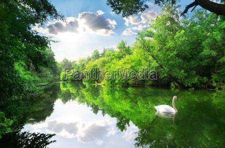 cigno bianco sul fiume
