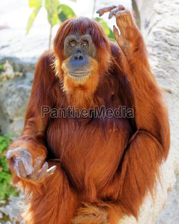 orangutan in cattivita seduto su un