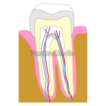 denti illustrazione radice dente gengiva gengive