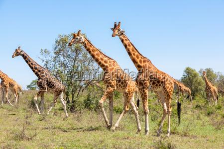 gregge di giraffe nella savana