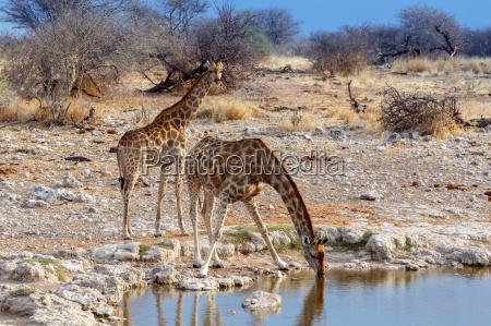 giraffa camelopardalis bere da waterhole nel