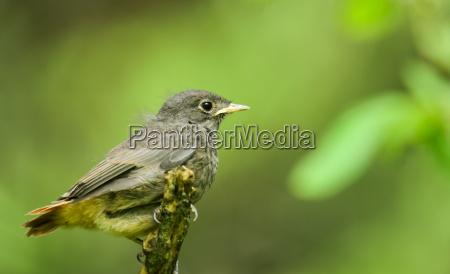 uccello uccelli piumaggio covata nidiata uccellino
