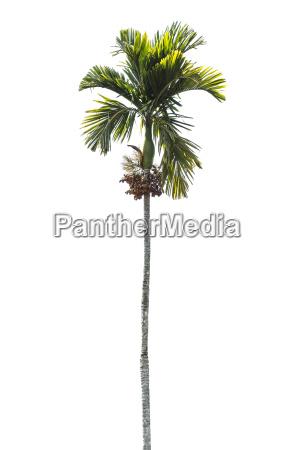 betel palm tree isolated on white