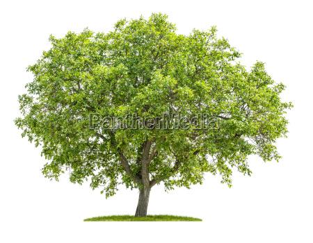 albero di noce su sfondo bianco