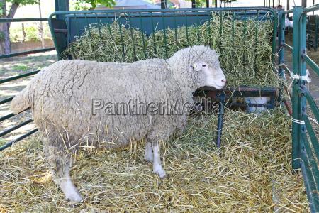 animale agricoltura pecora fattoria coltivare