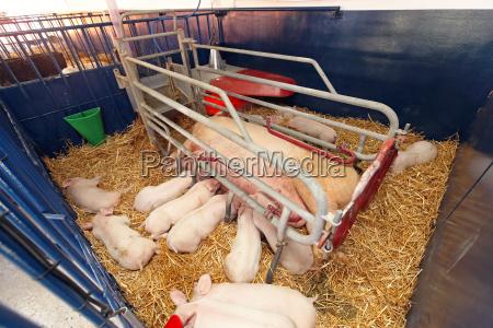 animale agricoltura fattoria maialino maiali seminare