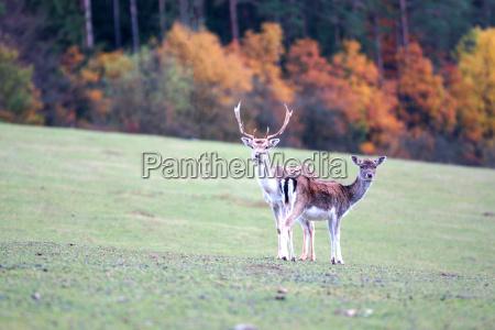 cervo in piedi in una radura