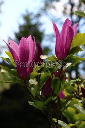 foglia fiori primavera petali magnolia sanguinare