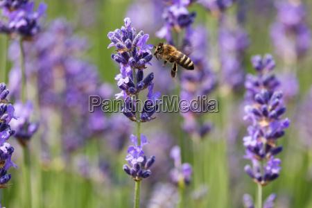 fiore pianta lavanda insetto ape