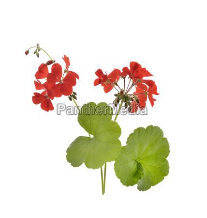 geranio fiori