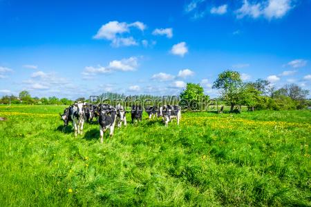 chiudere blu animale mammifero toro agricoltura