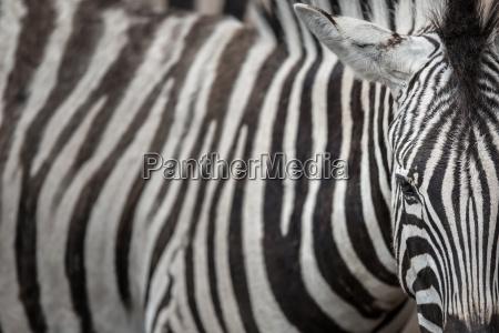 zebra vista ravvicinata con accento sul