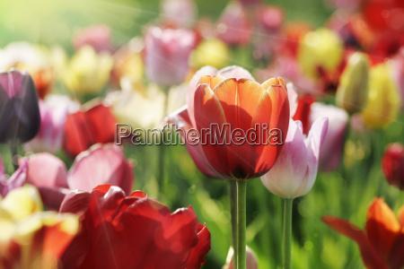 tulips beams