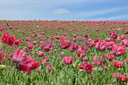 papavero rosso rosa