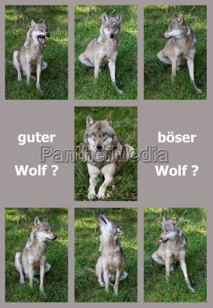 alcuni collage lupo lupi sedersi