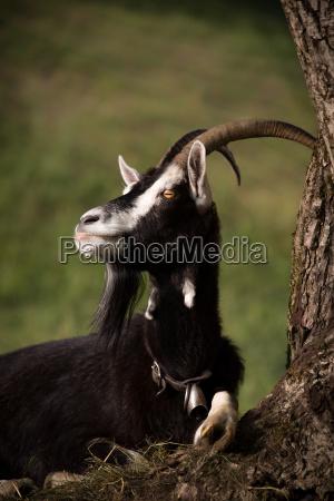 ritratto capra corna protezione degli animali