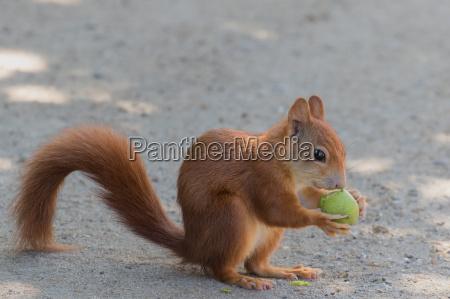 ricettivo scoiattolo noce masticato