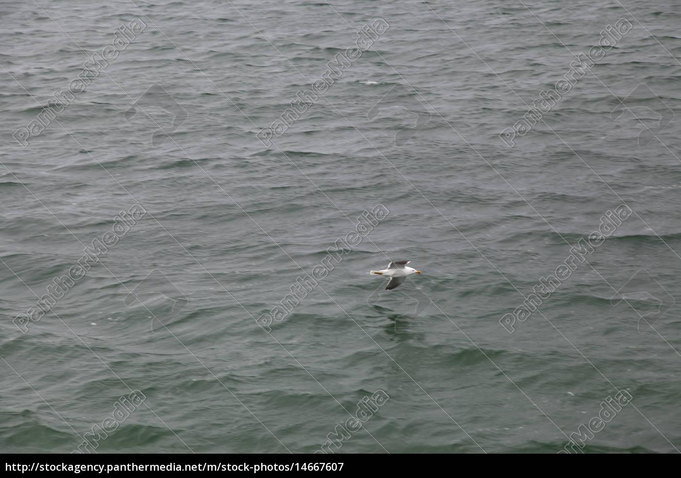 volo, animale, uccello, acqua, mare del nord, acqua salata - 14667607
