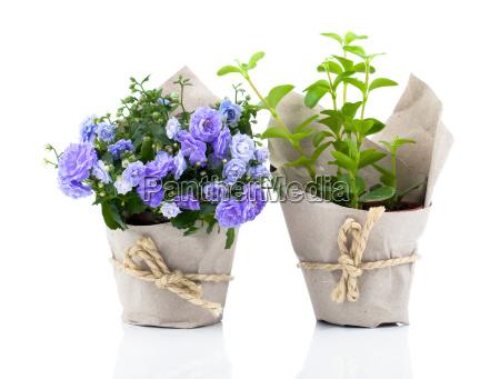 fiori della bell campanula fiori in