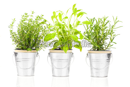 sagethyme and rosemary herb plant growing