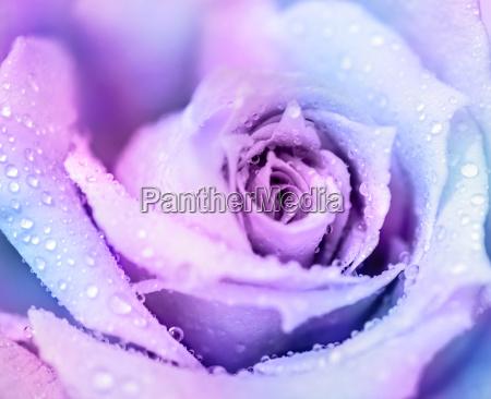 sfondo rosa inverno