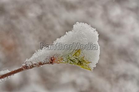 bud coperto di neve
