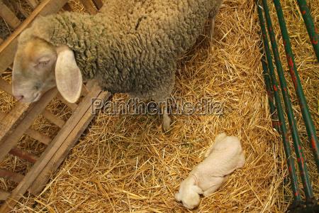 animale pecora bestiame fattoria coltivare bambino