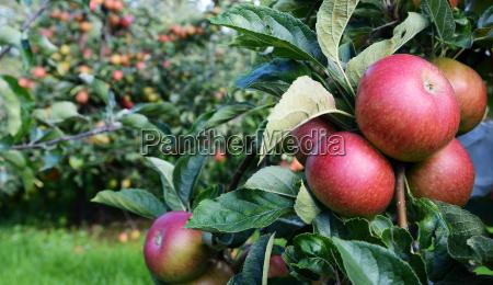 le mele rosse sono mature per