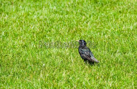 singolo starling in erba verde guardando