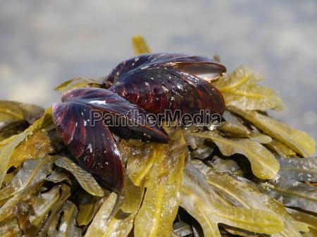 alga marina cozze