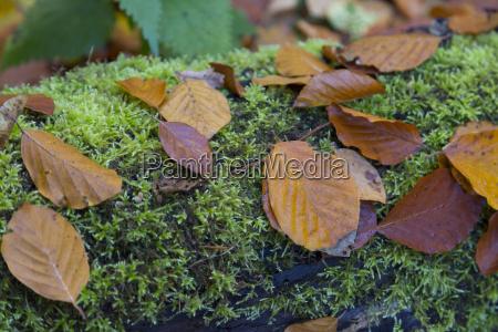 linde leaves on moss