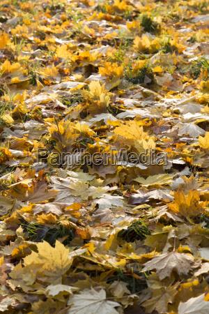 autumn leaves backlit