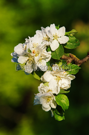 fioritura fiorire fiori melo sanguinare pallido