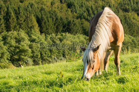 il cavallo haflinger si distina in