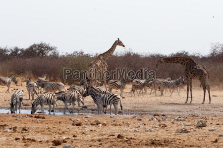animale africa namibia natura safari
