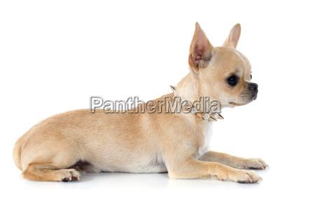 cucciolo chihuahua