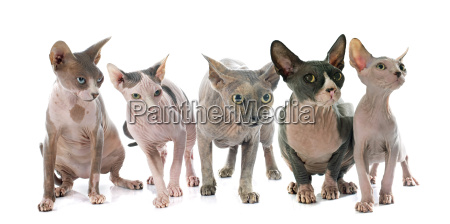 gatti senza peli di sphynx