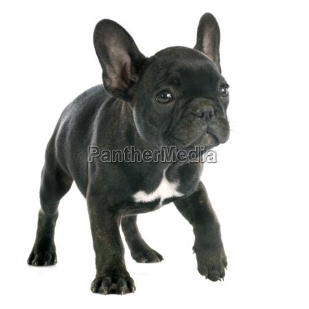 cucciolo francese bulldog