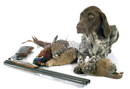 cacciatore punta pointer cane indicatore cenno