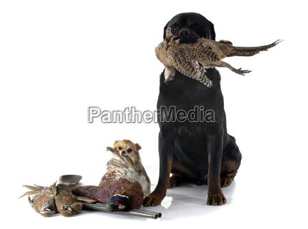uccello cacciatore cane rottweiler caccia