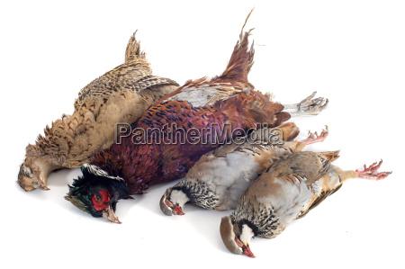 animale uccello cacciatore pistola arma fagiano