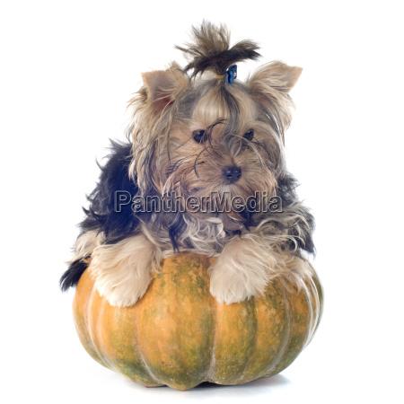 cucciolo yorkshire terrier