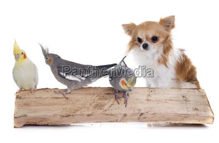 cockatiel e chihuahua