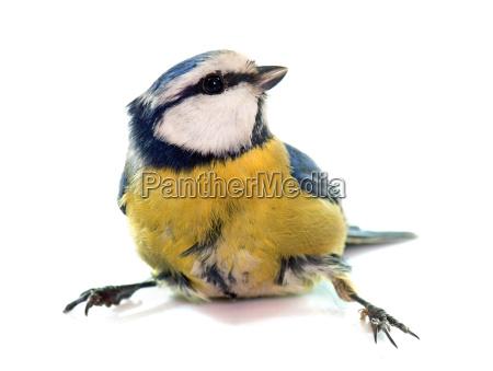 blu uccello